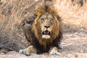 Löwe im Thornybush Game Reserve